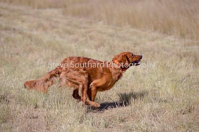 GRCA 2010 Puppy #08 Ridgeway Guiness Gold Dust Finnegan