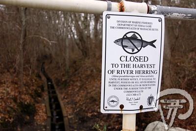 LONNIES POND — herring run clean-up — Orleans, MA 3 . 17 - 2012