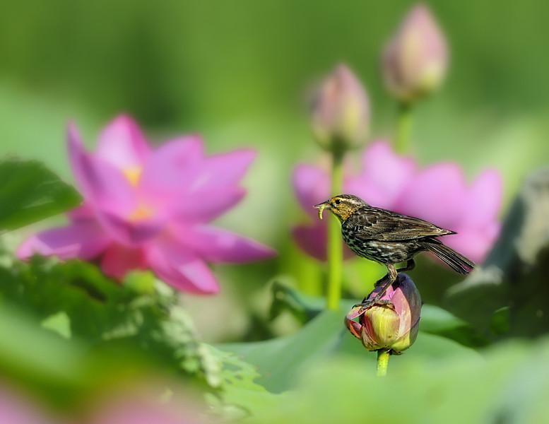 Female Red winged Blackbird on Lotus