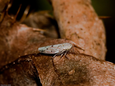 Leafhoppers (Cicadellidae)