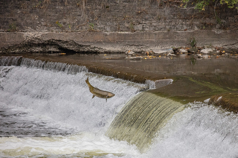 salmon upstream (41 of 48).jpg