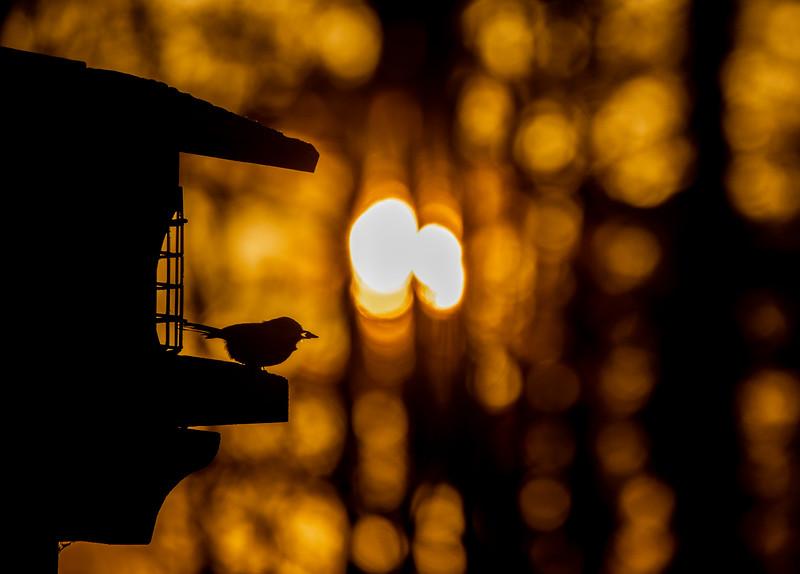 Black-capped Chickadee at feeder backlit backlighting Skogstjarna Carlton County MN  IMGC9384.jpg