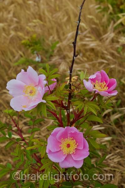 Nootka Rose - Rosa nutcana