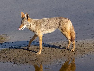 Coyote April 24 2018