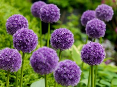 Allium 'His Excellency'.jpg