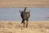 Head on Wildebeest