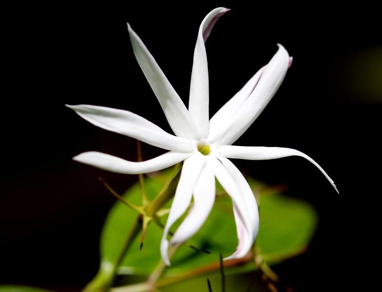 wax jasmine