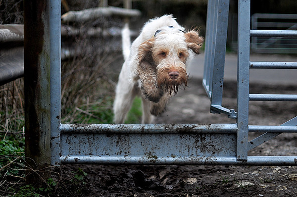 Orange Spinone Action