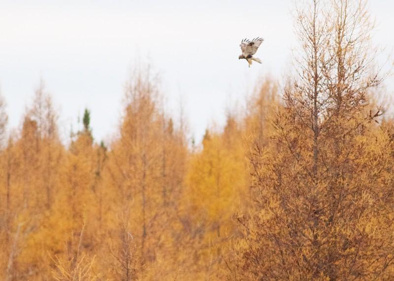 Rough-legged hawk along CR29 Sax-Zim Bog MN IMG_9069.jpg