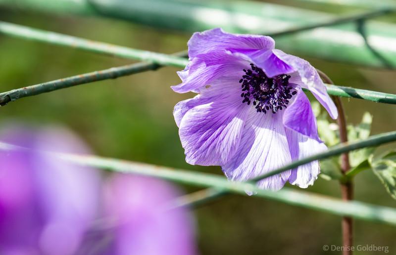 a poppy in purple