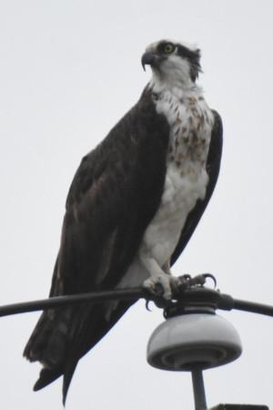 Osprey-Oceanport