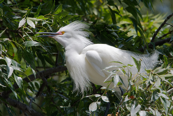 Google Complex Nesting Egrets and Herons