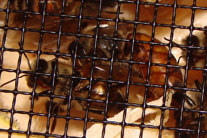 This is the new queen (marked with a white dot on her back) that I bought and put into my original hive on April 11, 2009.