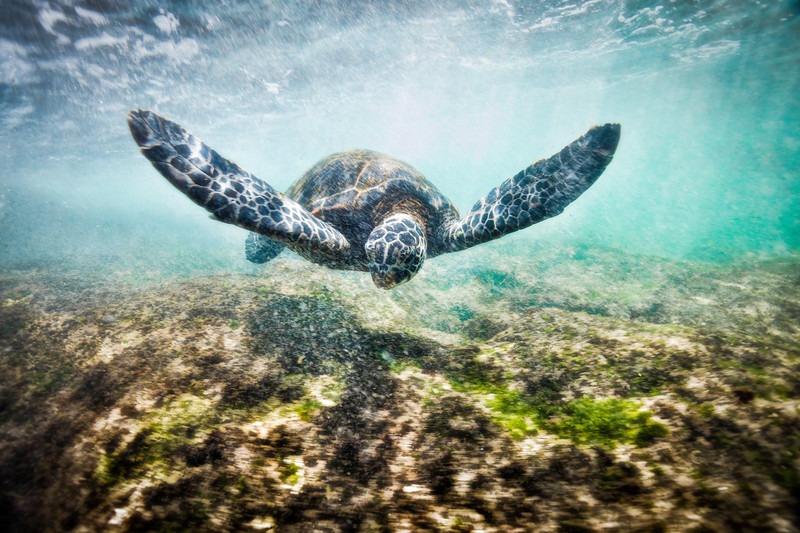 Green Sea turtle (1 of 20).jpg