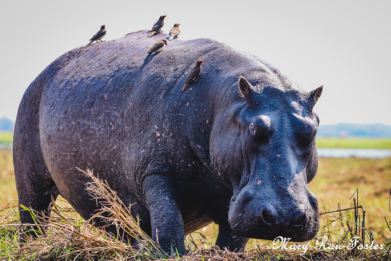 Hippo on Island