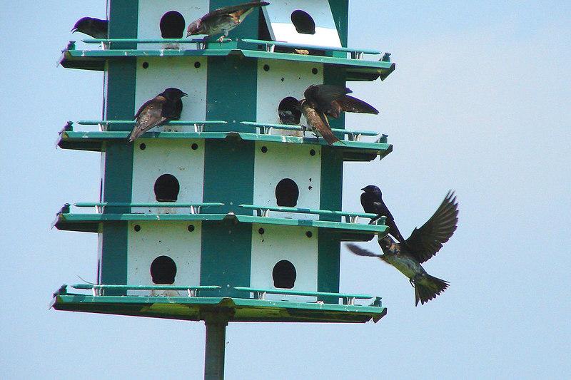 MARTIN, PURPLE  - Montezuma National Wildlife Refuge NY - Aug. 1, 2006