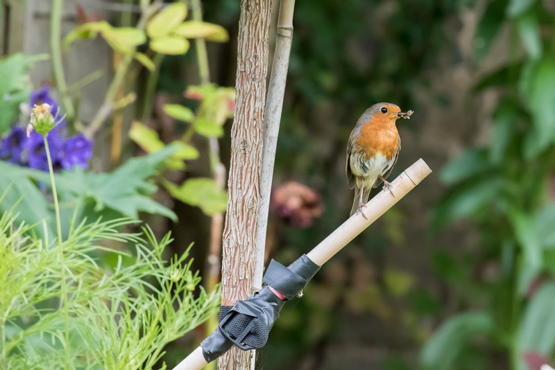 The Robin and Mum's garden