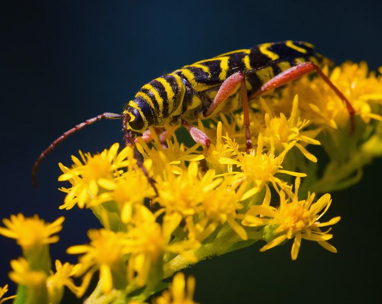 Locust Borer Beetle