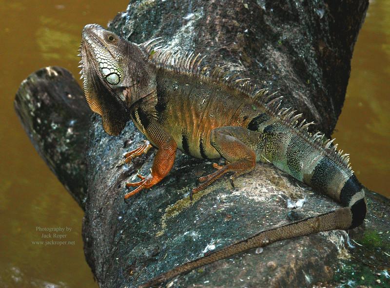 Puerto Rico  iguana  2.jpg
