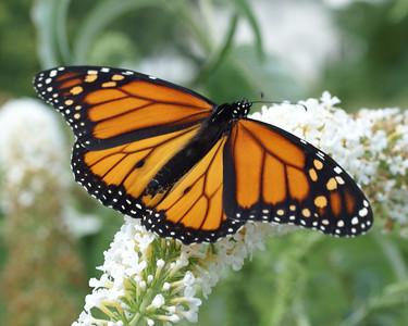 Monarch in July