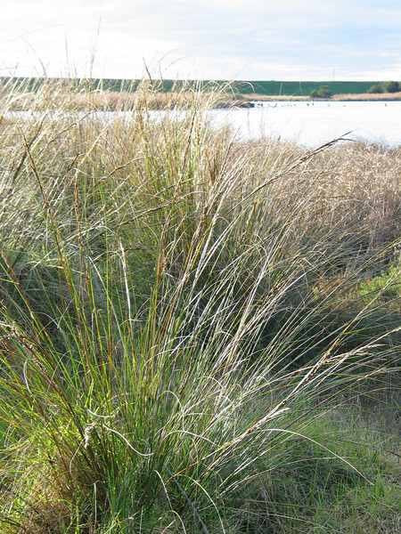 Gahnia filum / Chaffy Saw Sedge