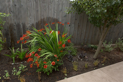 Oregon Garden Alliums and Dahlias_07_07_2015