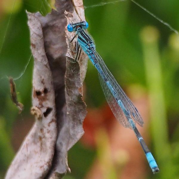 Big Bluet, male