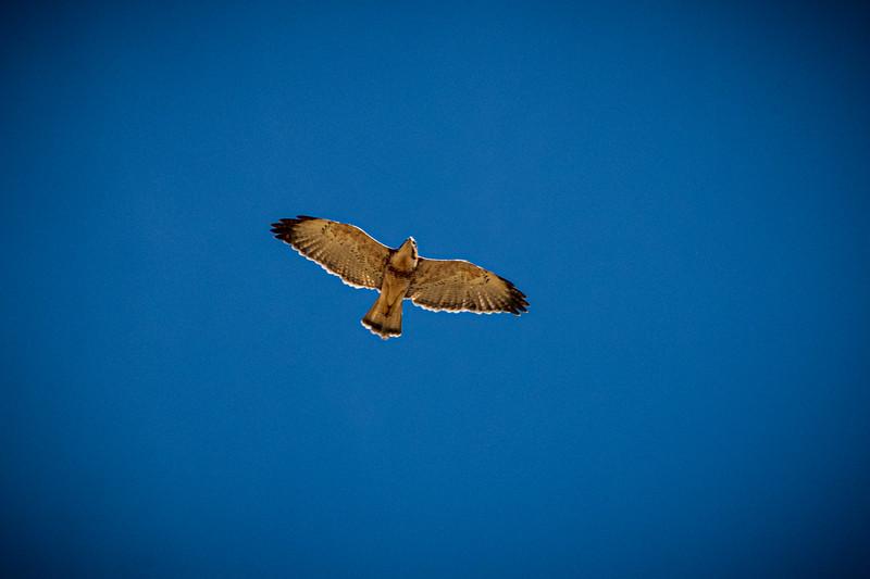 White Hawk- on walk to Yanque-9035.jpg