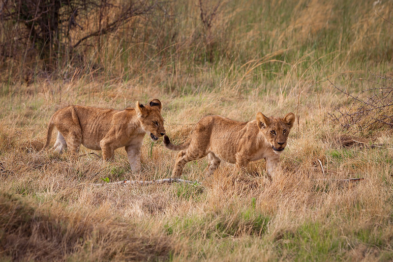 Sibling Lion cubs