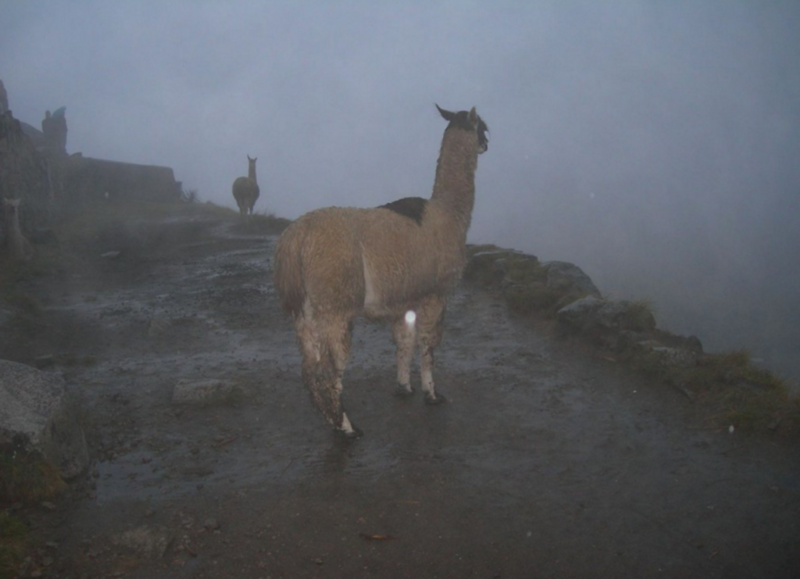 llamas what to do in peru.png