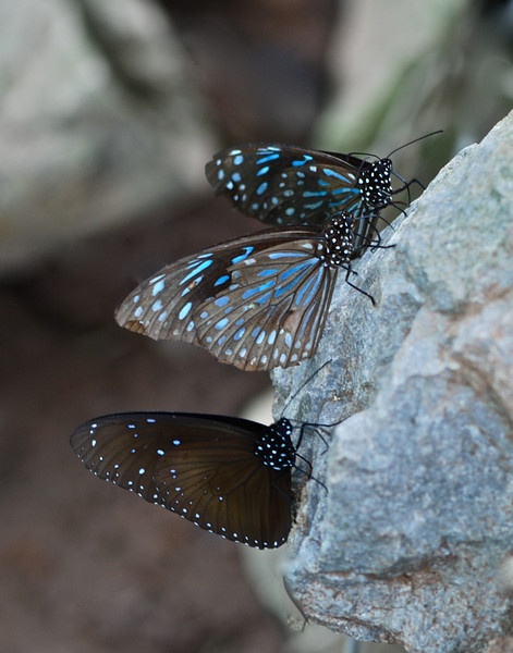 Blue Glassy Tiger Butterflies (Ideopsis similis persimilis)