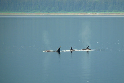 July 2010 - Three Orcas Cynthia Meyer, Tenakee Inlet, Alaska