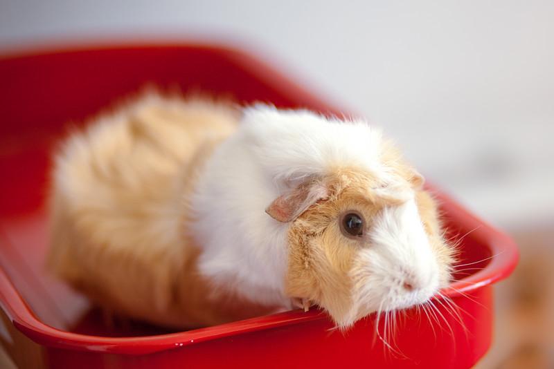 Ginea Pigs-12.jpg