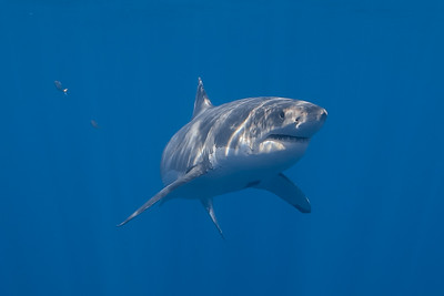 Whale Sharks and Great White Sharks