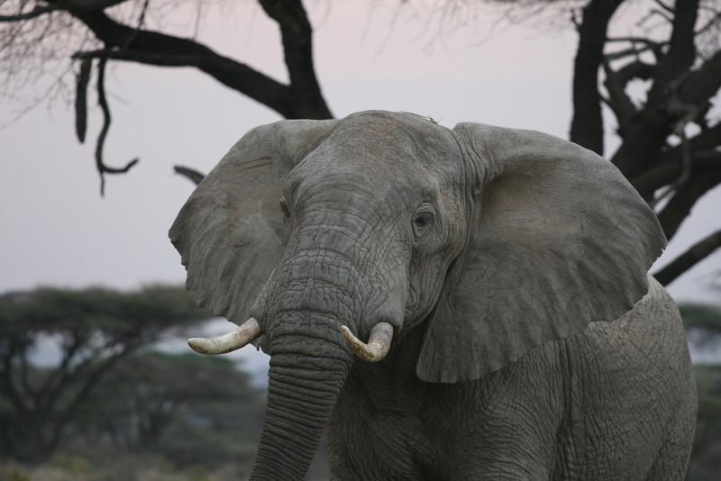 Elephant Head RCC 205.jpg
