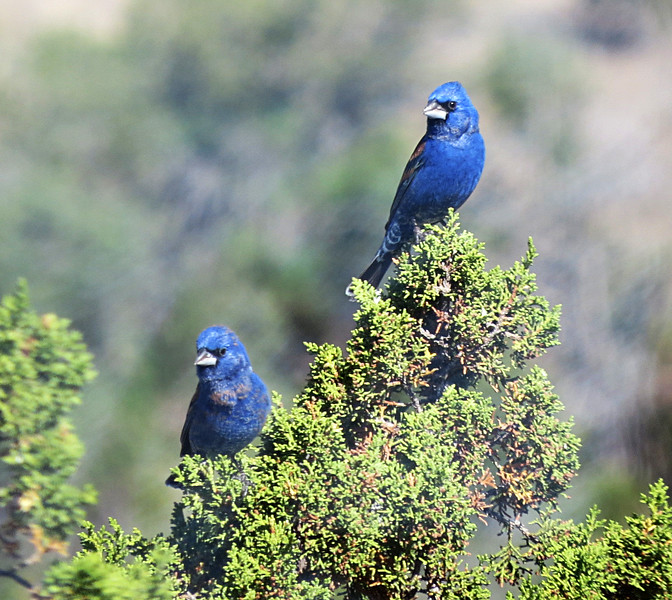 Blue Grosbeaks.jpg