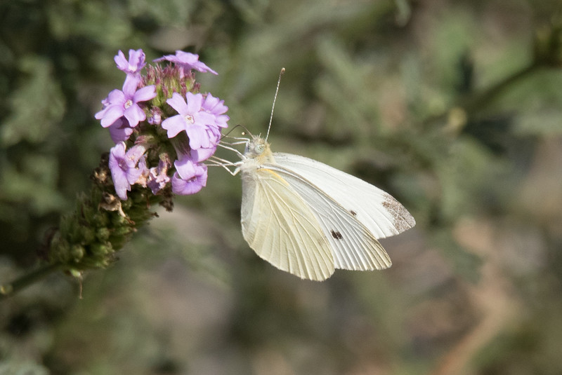 Cabbage White Butterfly on a flower in the Sibly Nature Center
