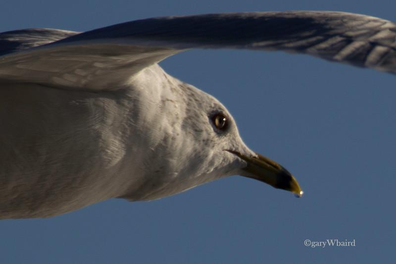 Ring Billed Gull Profile
