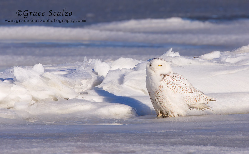 SnowyOwlIce2009-01-03_Snowy owls__MG_5187.jpg