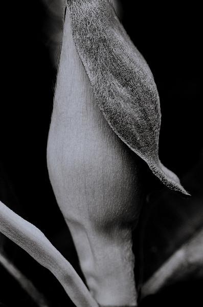 Magnolia -.jpg