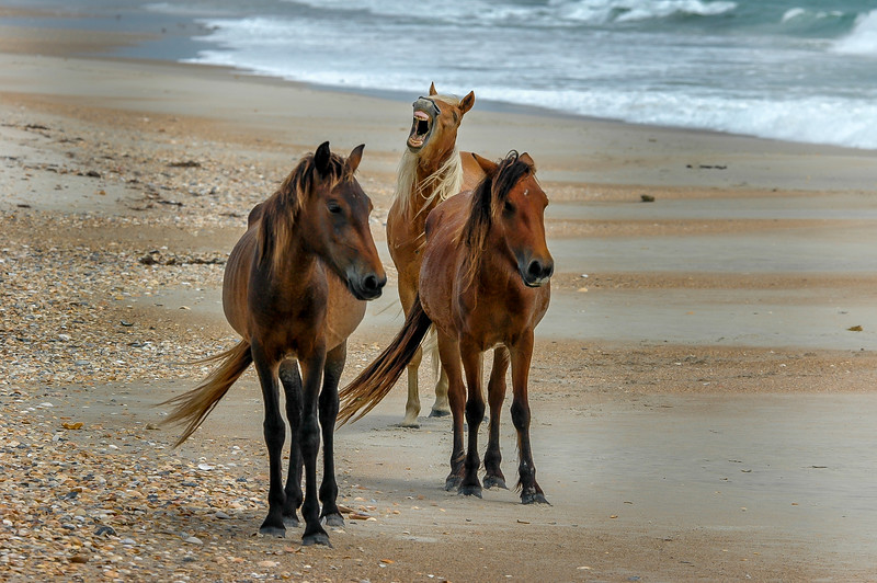 Wild Horses On Beach, Flehmen Response