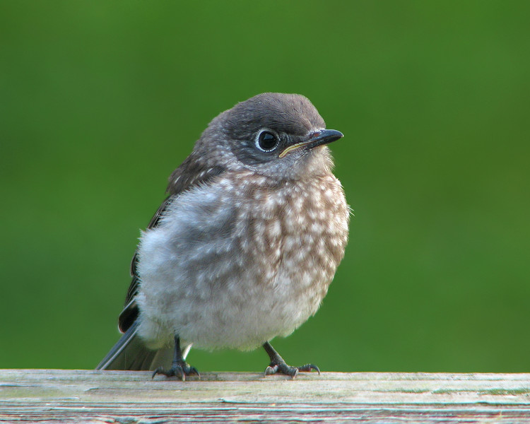 bluebird_fledgling_3031.jpg