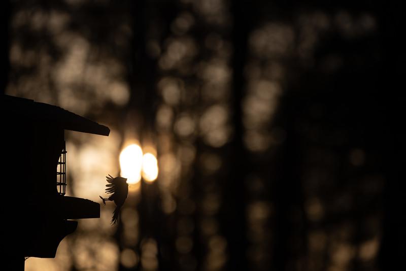 Black-capped Chickadee at feeder backlit backlighting Skogstjarna Carlton County MN  IMGC9375.jpg