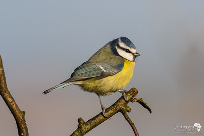 Blue Tit in sunlight