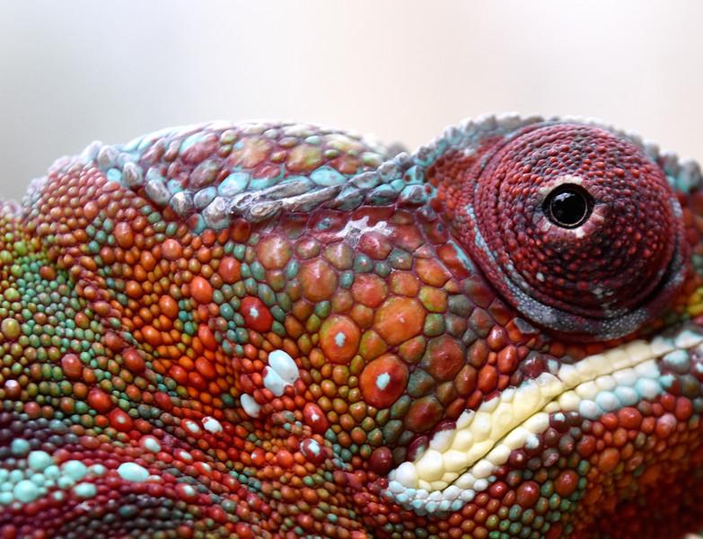 Madagascar-ChameleonCloseup.jpg
