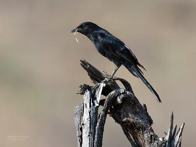 Southern Black Flycatcher (Melaenornis pammelaina)