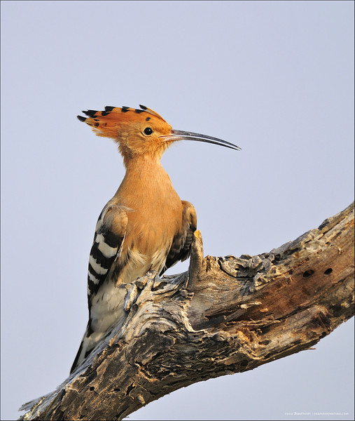 Common-Hoopoe-03.jpg