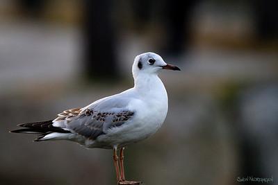 Hettemåke (Black-headed Gull)