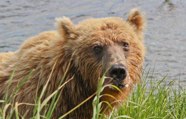 McNeil River Brown Bears