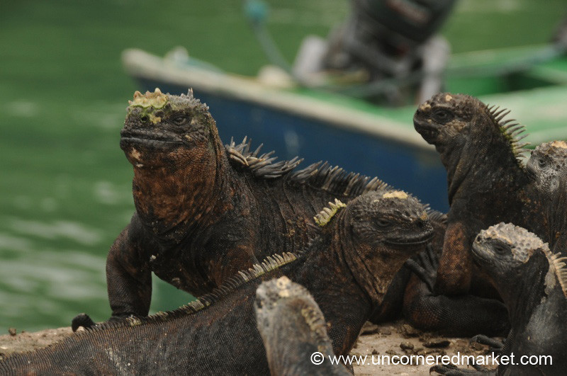 Marine Iguanas - Galapagos Islands